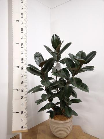 観葉植物 フィカス バーガンディ 8号 ノーマル テラアストラ リゲル 赤茶色 付き
