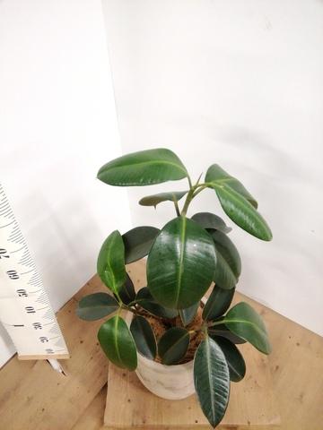 観葉植物 フィカス バーガンディ 8号 ノーマル ルーガ アンティコ アルトエッグ 付き