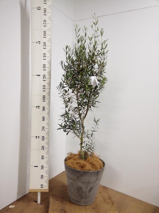観葉植物 オリーブの木 10号 チプレッシーノ アートストーン ラウンド グレー 付き