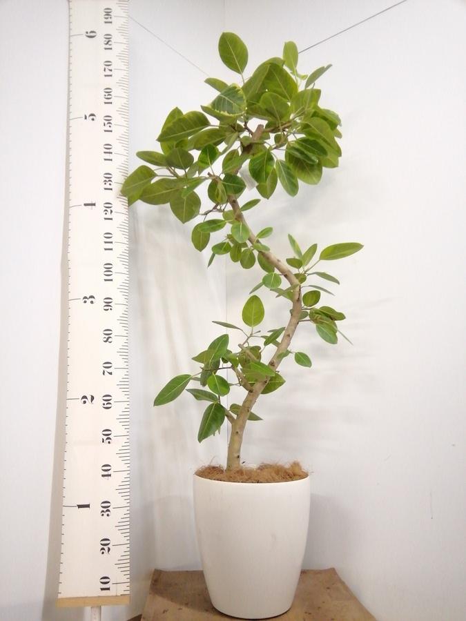 観葉植物 フィカス アルテシーマ 10号 曲り ラスターポット 付き