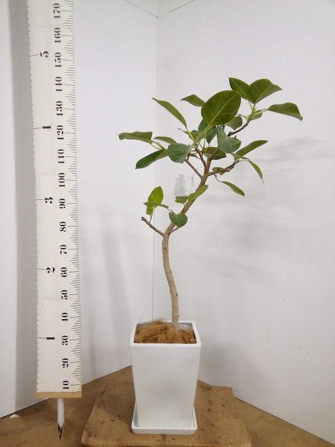 観葉植物 フィカス アルテシーマ 8号 曲り LO スクエア 付き