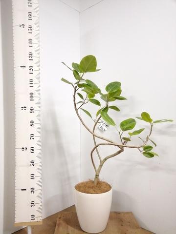 観葉植物 8号 曲り 【125cm】【鉢カバー付】フィカス アルテシーマ 8号 #22565