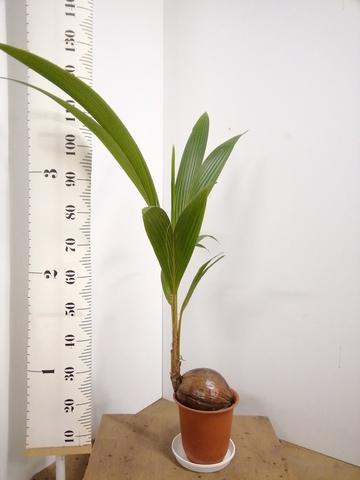 観葉植物 ココヤシ 7号 プラスチック鉢