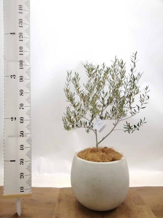 観葉植物 オリーブの木 8号 カヨンヌ テラニアス ローバルーン アンティークホワイト 付き