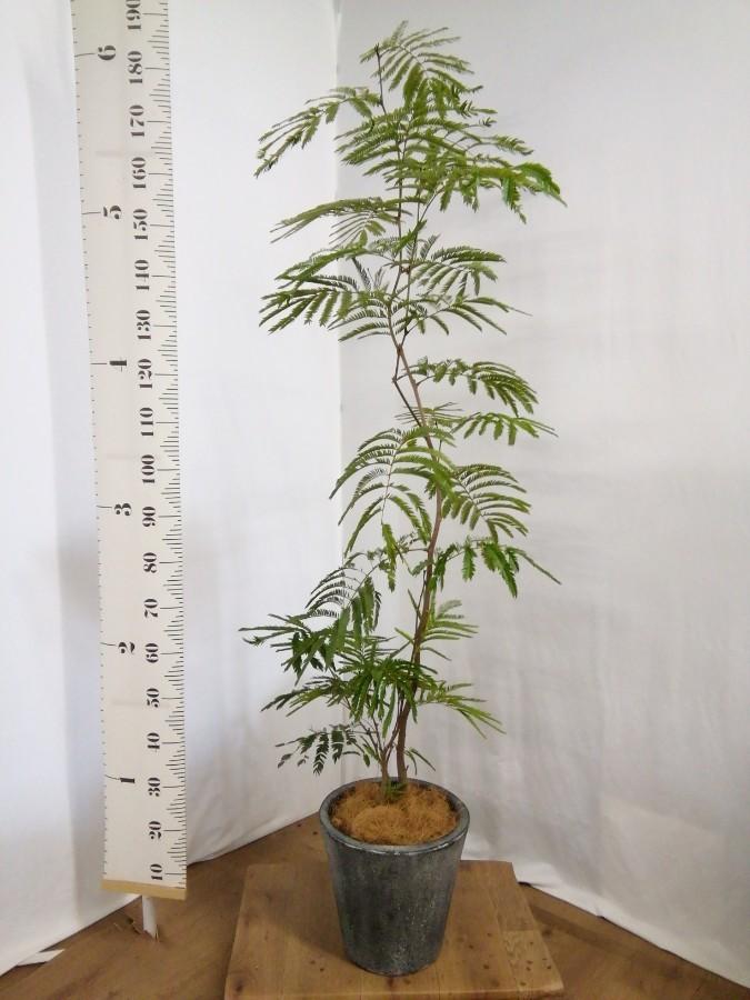 観葉植物 エバーフレッシュ 8号 ボサ造り フォリオソリッド ブラックウォッシュ 付き