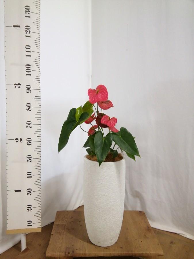 観葉植物 アンスリウム 6号 ダコタ エコストーントールタイプ white 付き