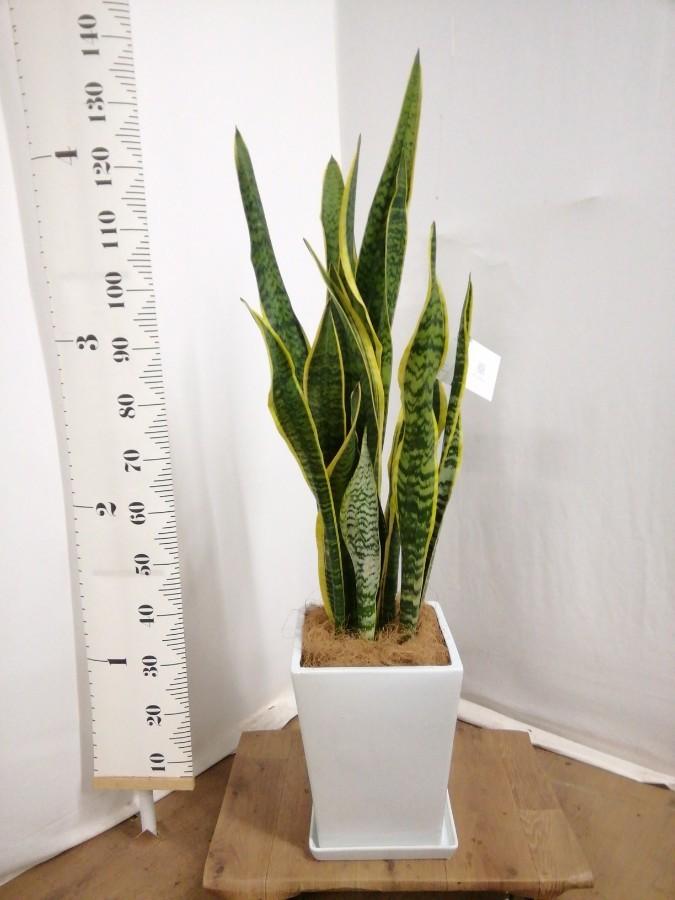 観葉植物 サンスベリア 8号 トラノオ LO スクエア 付き