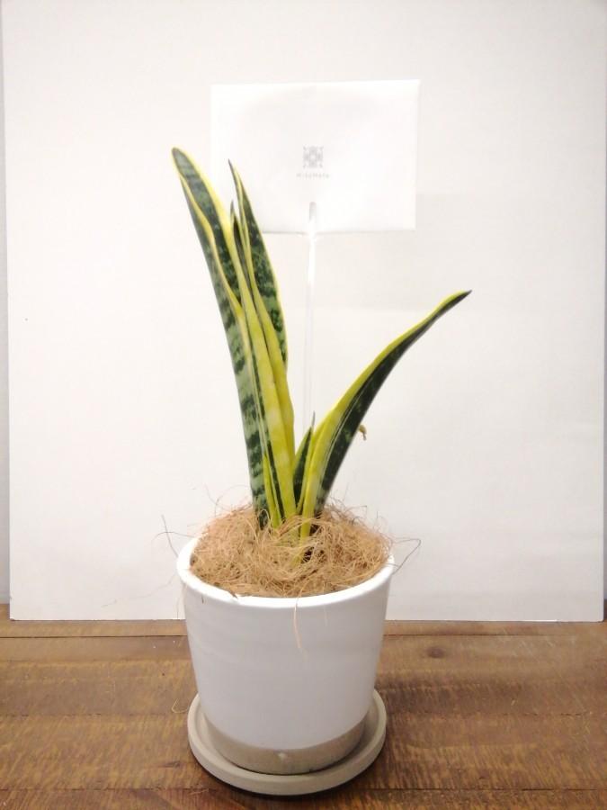 観葉植物 サンスベリア 4号 トラノオ マット グレーズ テラコッタ ホワイト 付き