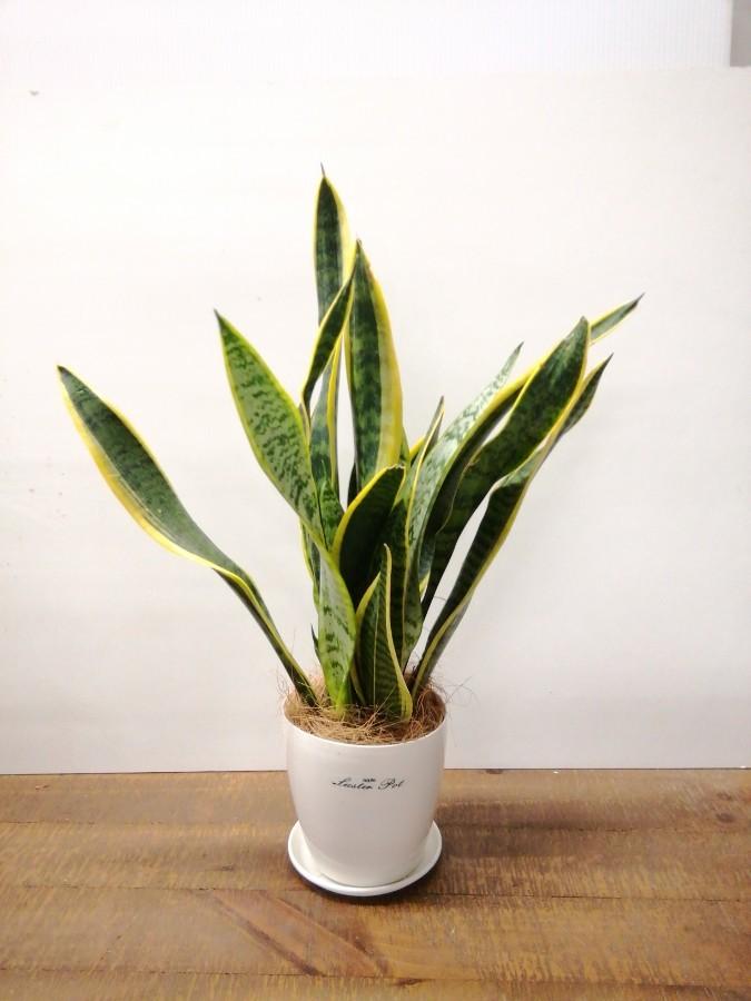 観葉植物   オフィス 観葉植物 3点セット(8号×1、6号×1、4号×1)