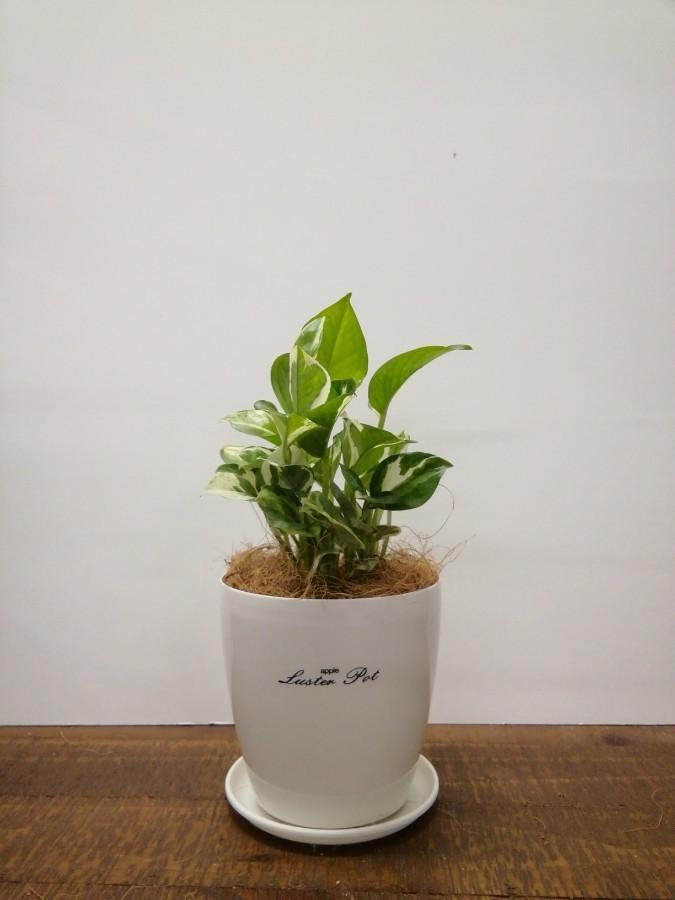 観葉植物 ポトス 3号 ラスターポット 付き