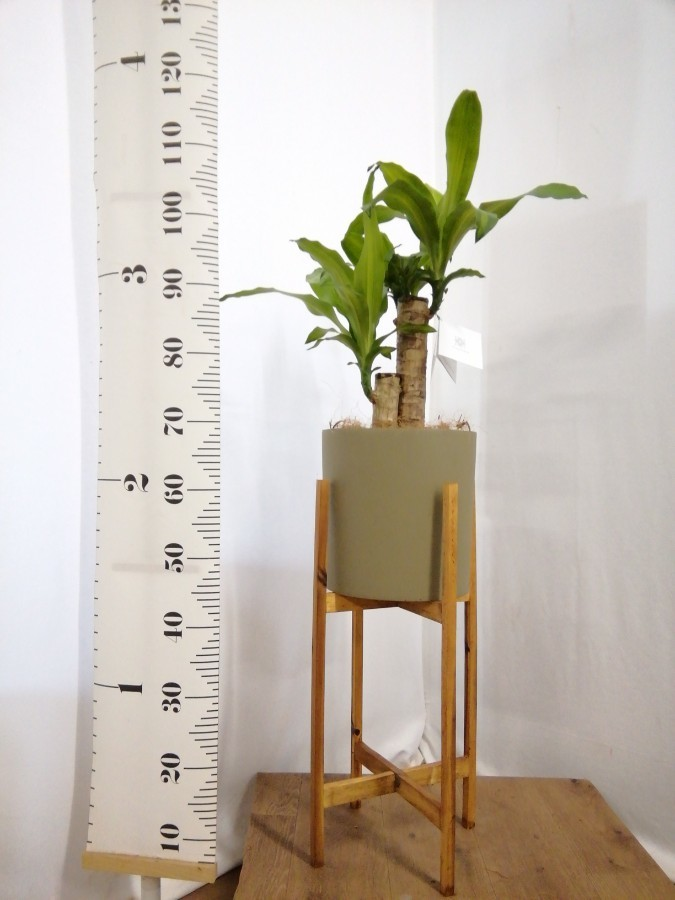 観葉植物 ドラセナ 幸福の木 6号 ノーマル ホルスト シリンダー オリーブ ウッドポットスタンド付き