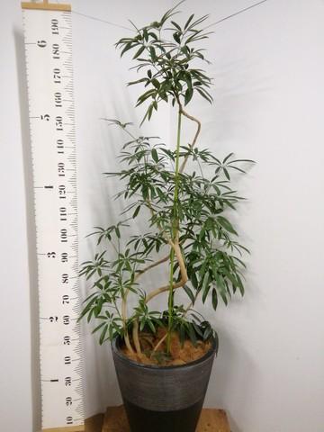 観葉植物 シェフレラ アンガスティフォリア 10号 曲り ジュピター 黒