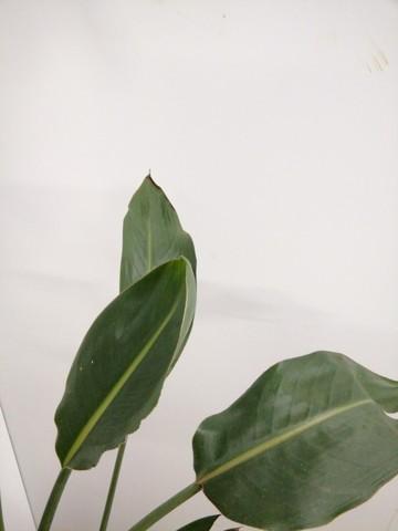 観葉植物  ストレリチア レギネ 6号 ホルスト シリンダー オリーブ ウッドポットスタンド付き