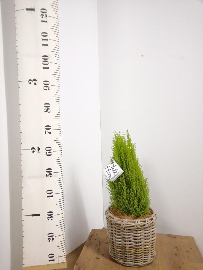 観葉植物 ゴールドクレスト 6号 ノーマル グレイラタン 付き