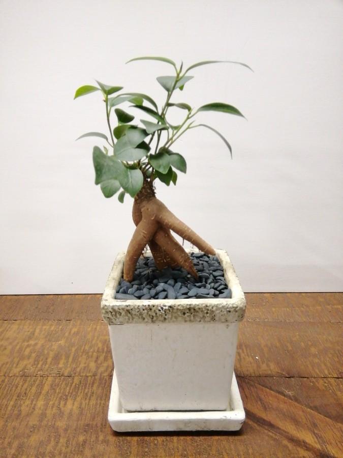 観葉植物 ガジュマル 3号 股仕立て リト キューブ3