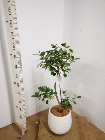観葉植物 【95cm】パンダガジュマル 6号 #22584