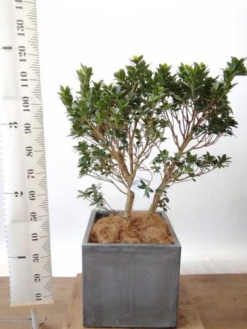 観葉植物 ガジュマル 10号 ベビーリーフ ファイバークレイ キューブ 付き