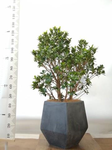 観葉植物 ガジュマル 10号 ベビーリーフ ファイバークレイGray 付き