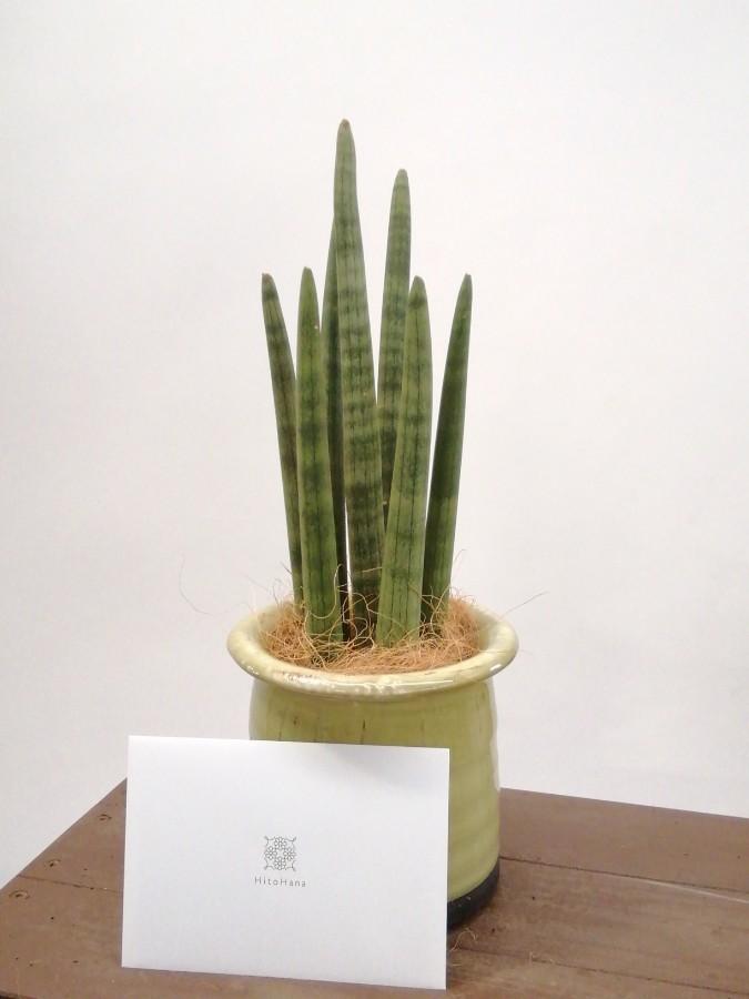 観葉植物 サンスベリア スタッキー 4号 アンティークテラコッタ グリーン 付き