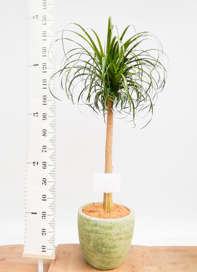 観葉植物 トックリラン 8号 アビスソニアミドル 緑 付き