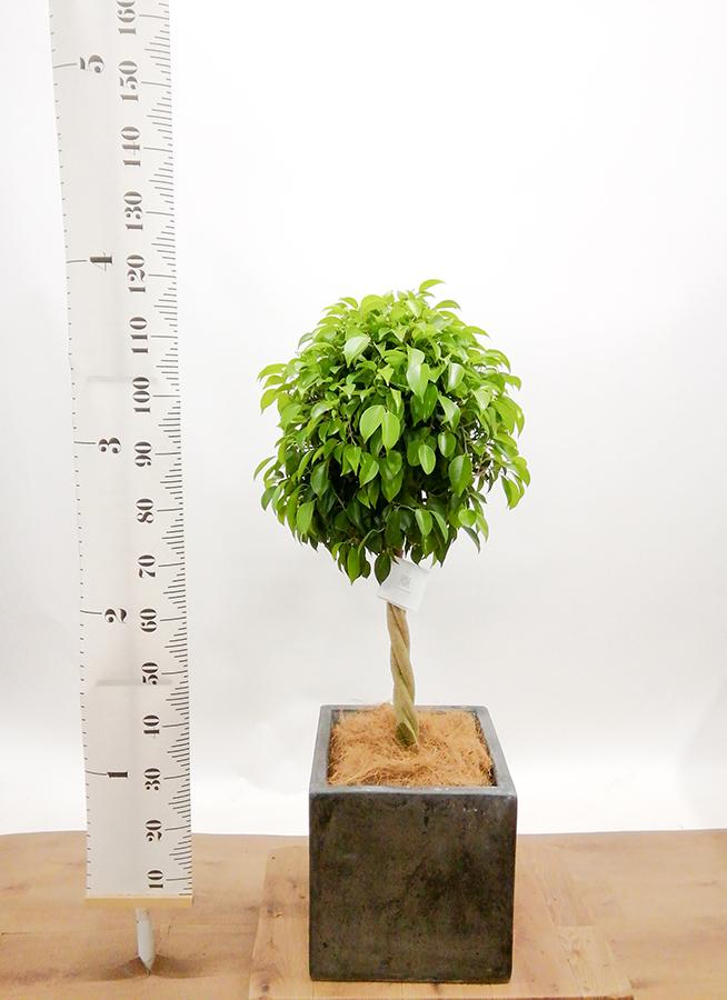 観葉植物 フィカス ベンジャミン 8号 玉造り コンカー キューブ  灰 付き