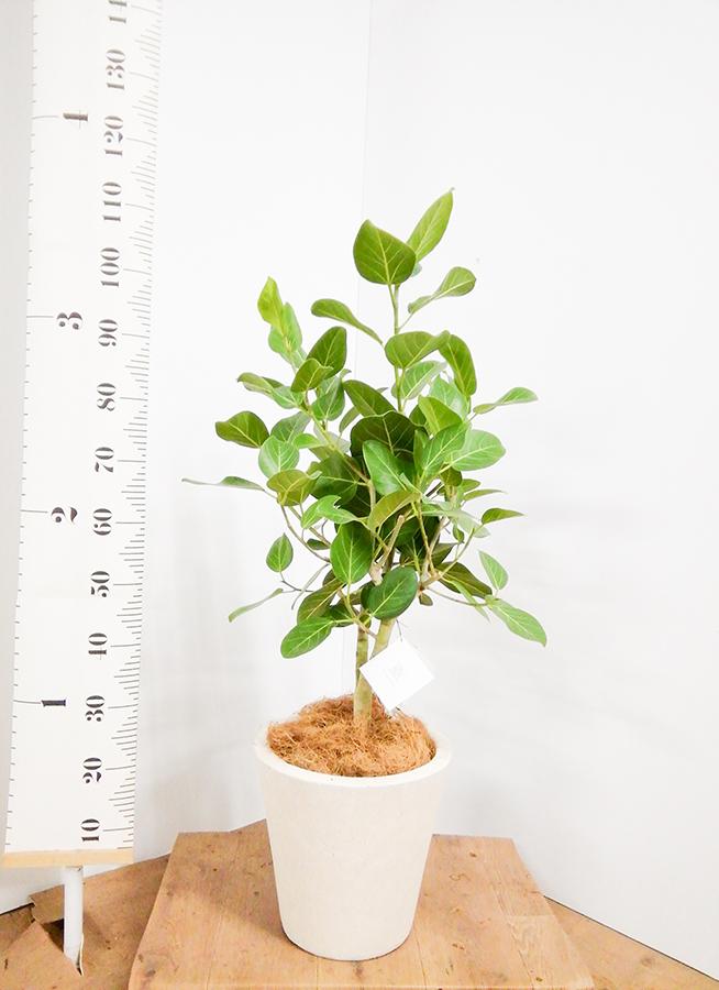 観葉植物 フィカス ベンガレンシス 7号 ストレート フォリオソリッド クリーム 付き