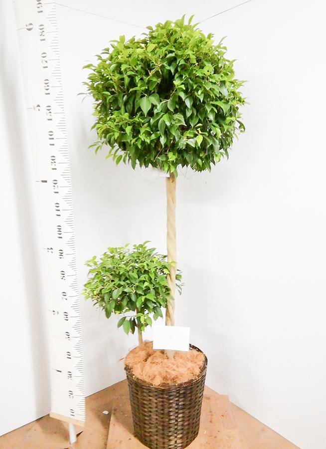 観葉植物 フィカス ベンジャミン 10号 玉造り 竹バスケット 付き
