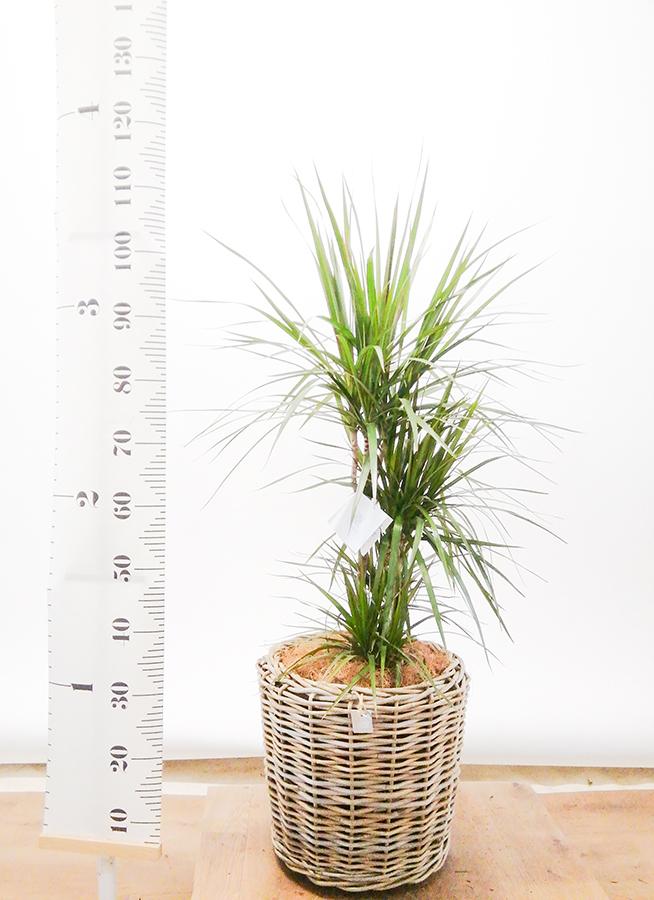 観葉植物 ドラセナ コンシンネ 8号 モデリック ラタン 付き