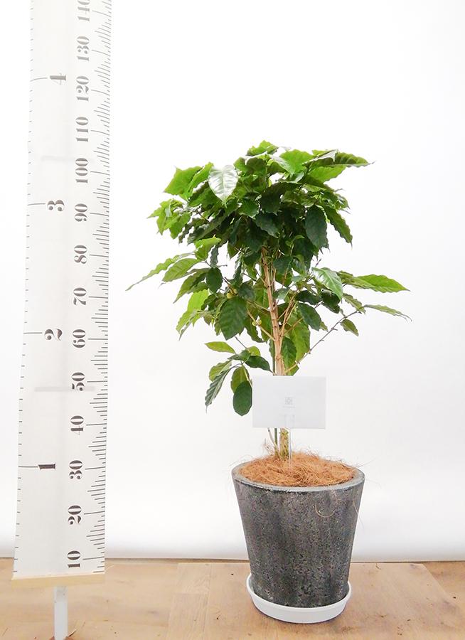 観葉植物 コーヒーの木 8号 フォリオソリッド ブラックウォッシュ 付き