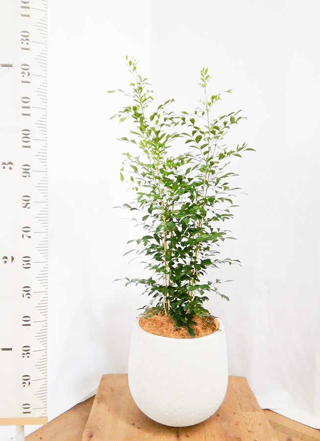 観葉植物 シルクジャスミン 8号 エコストーンwhite 付き