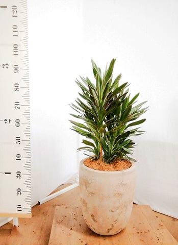 観葉植物 コルディリネ (コルジリネ) サンゴ 7号 ルーガ アンティコ アルトエッグ 付き