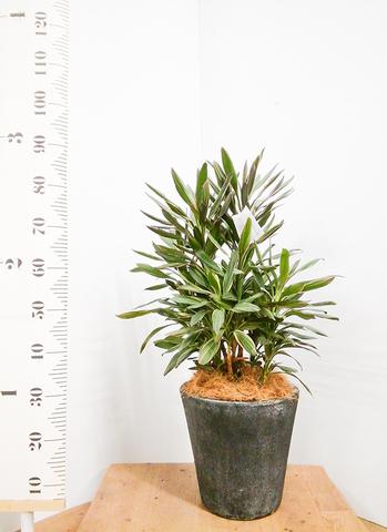 観葉植物 コルディリネ (コルジリネ) サンゴ 7号 フォリオソリッド ブラックウォッシュ 付き