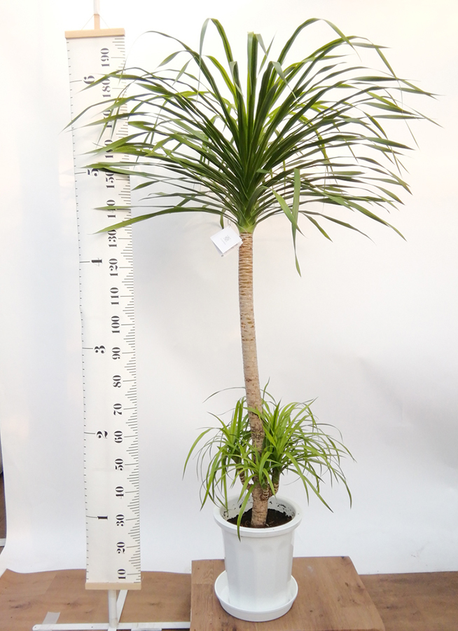 観葉植物 ドラセナ カンボジアーナ 10号 プラスチック鉢