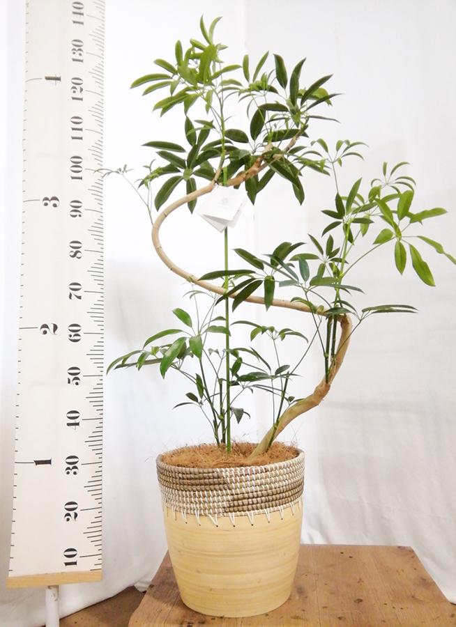 観葉植物 シェフレラ アンガスティフォリア 8号 曲り アルマ コニック 白 付き