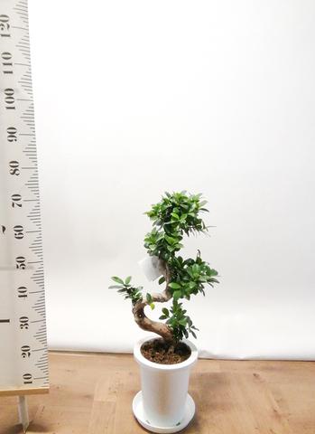 観葉植物 ガジュマル 7号 曲り プラスチック鉢