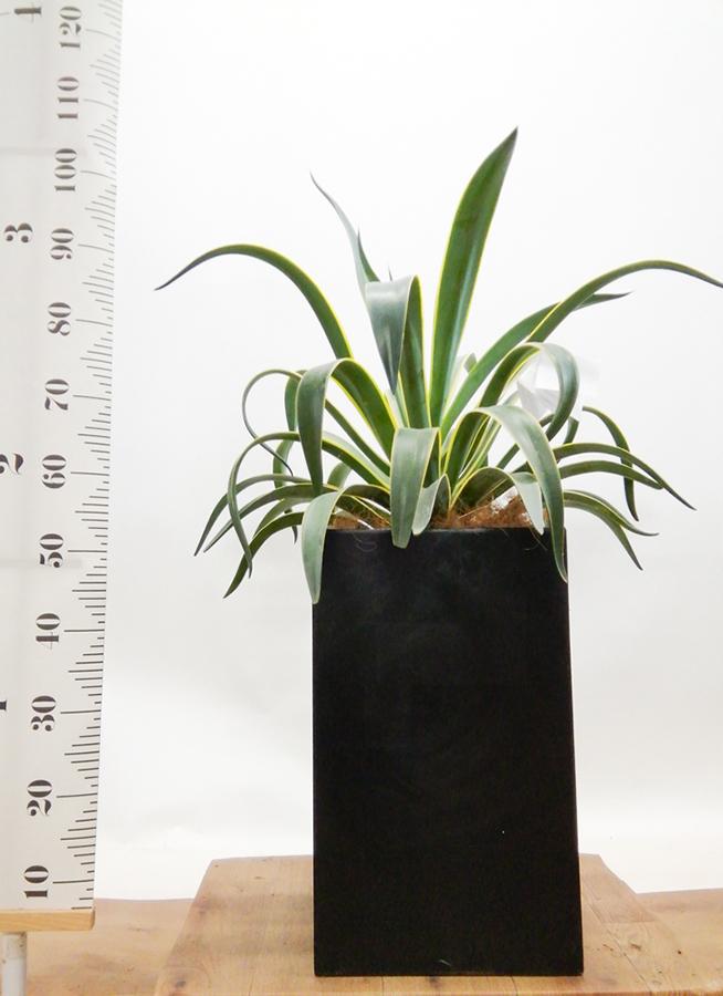 観葉植物 アガベ 7号 ベネズエラ セドナロング 墨 付き
