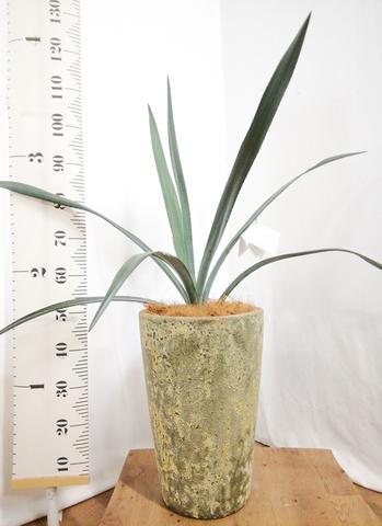 観葉植物 アガベ 7号 ベネズエラ アトランティス クルーシブル 付き