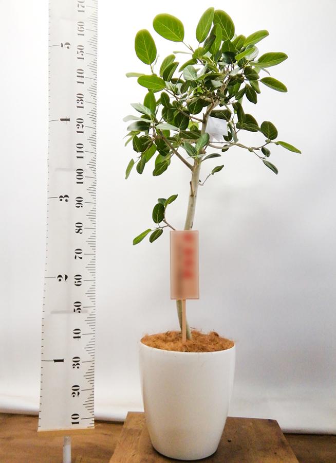 観葉植物 フィカス ベンガレンシス 10号 ストレート ラスターポット 付き