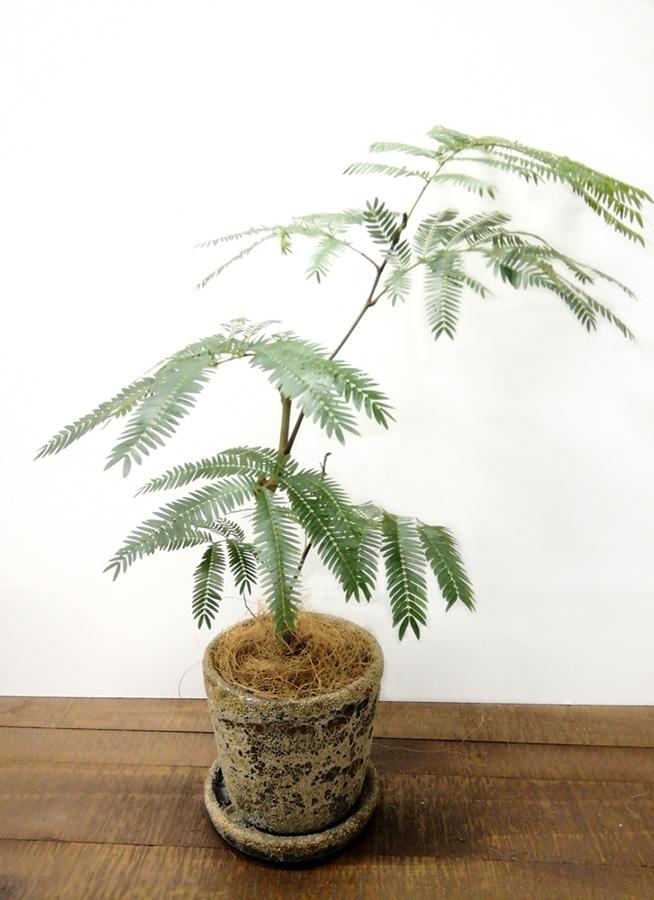 観葉植物 エバーフレッシュ 4号 ボサ造り ハレー カーキー 付き