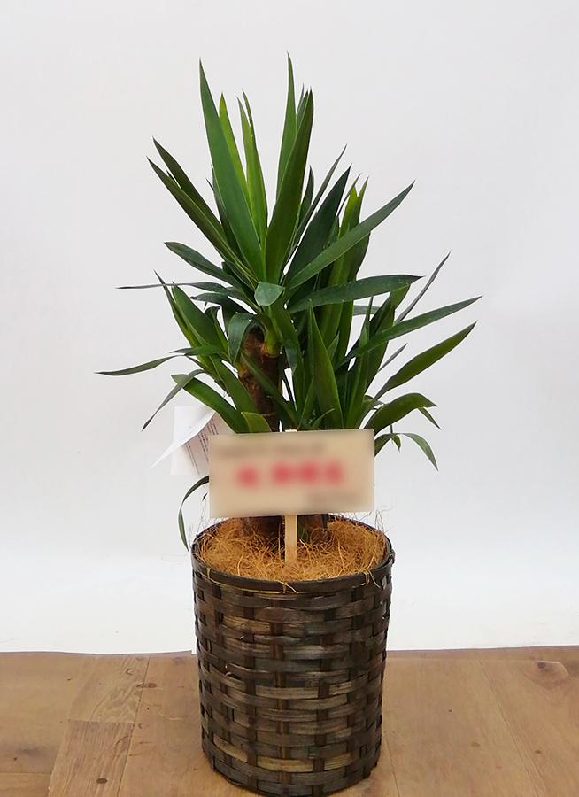 観葉植物 ユッカ 6号 ノーマル 竹バスケット 付き