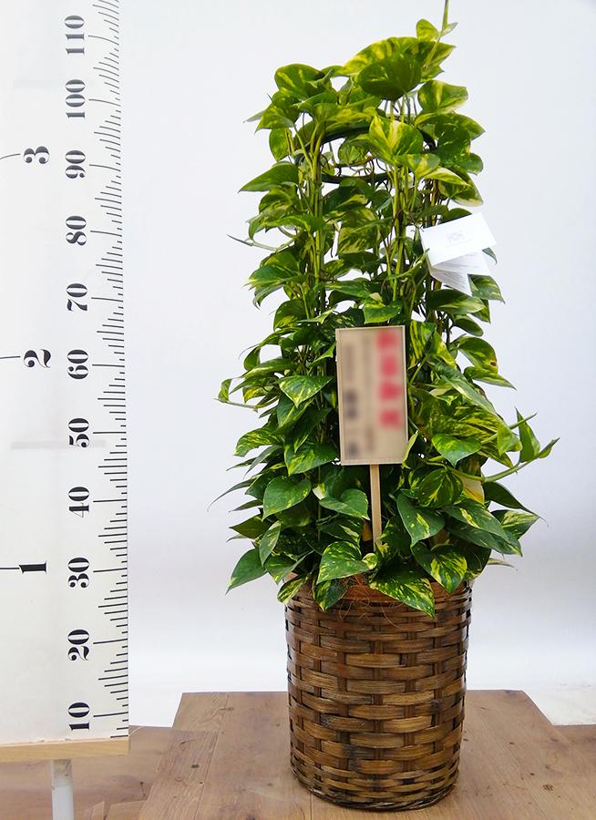 観葉植物 ポトス 8号 竹バスケット 付き