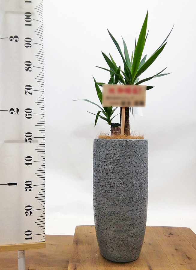 観葉植物 ユッカ 6号 ノーマル エコストーントールタイプ Gray 付き