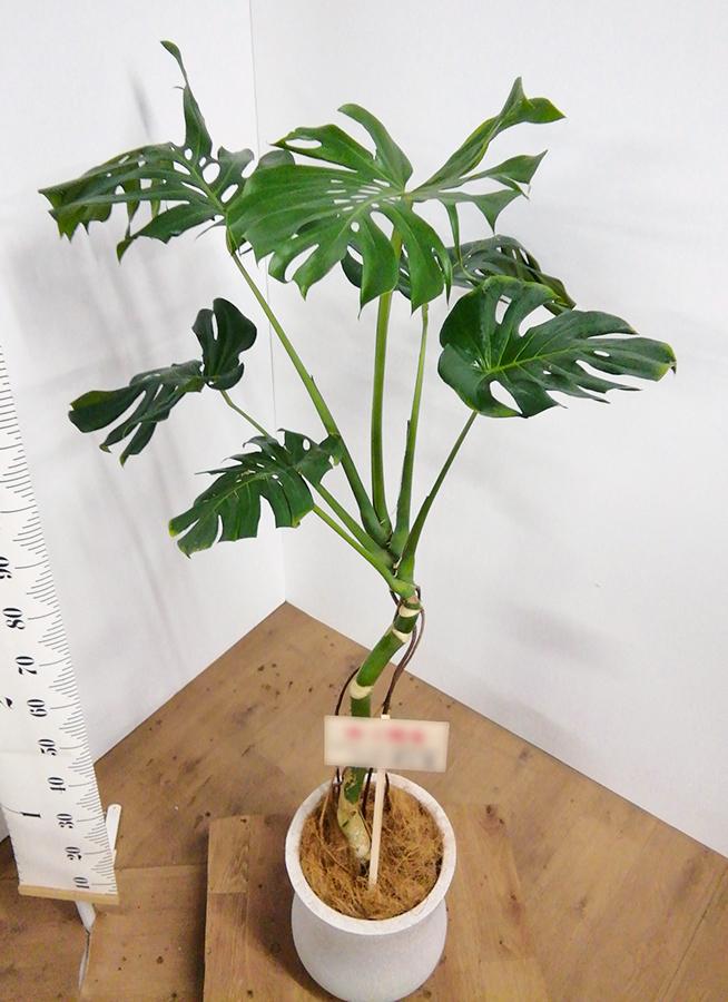 観葉植物 モンステラ 8号 根上り アローナラウンド 白 付き