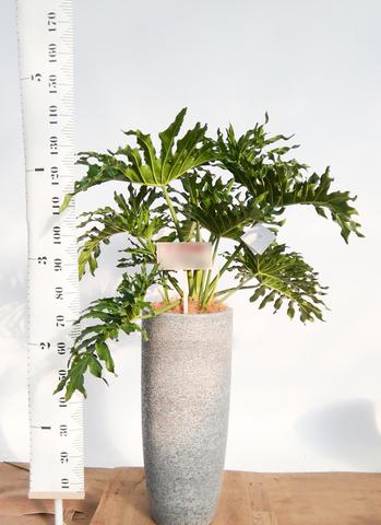 観葉植物 セローム ヒトデカズラ 8号 ボサ造り エコストーントールタイプ Gray 付き