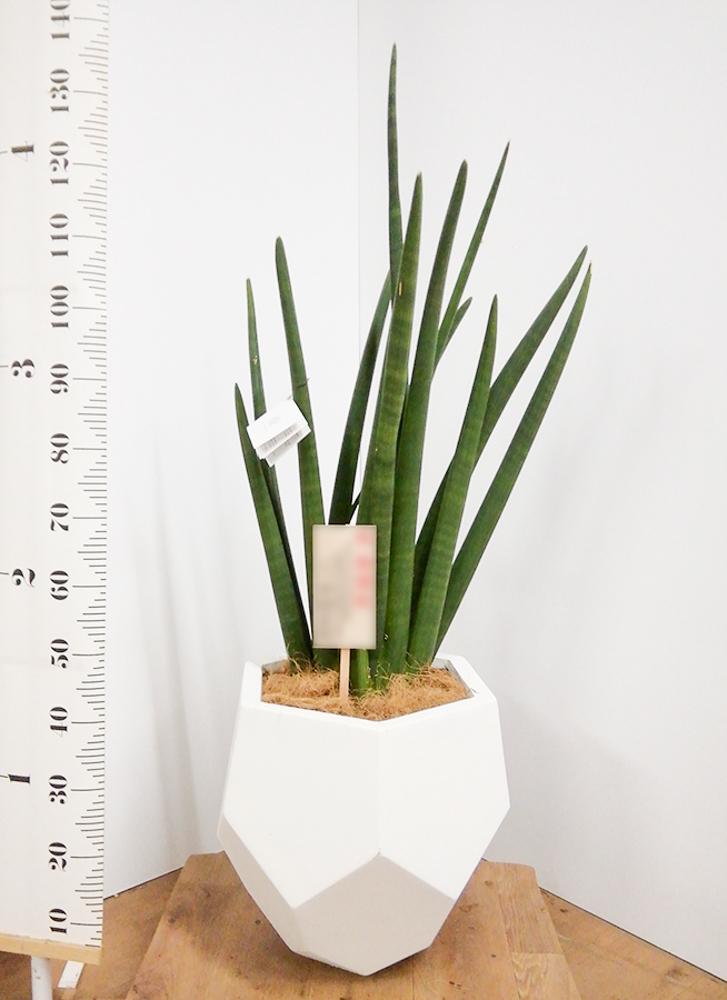 観葉植物 サンスベリア スタッキー 8号 ポリゴヘクサ 白 付き