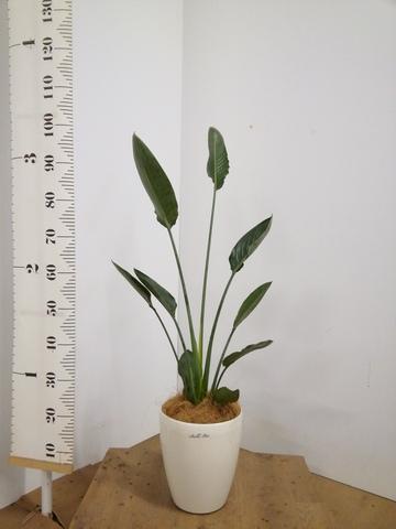 観葉植物  ストレリチア レギネ 6号 ラスターポット 付き