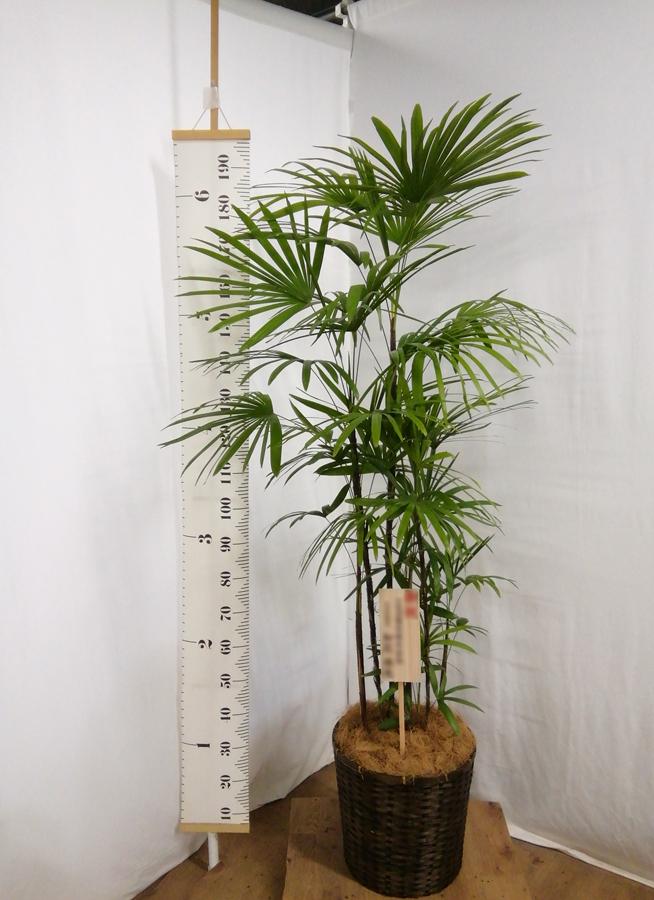 観葉植物 シュロチク(棕櫚竹) 10号 竹バスケット 付き