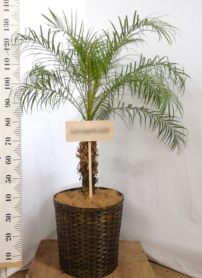 観葉植物 フェニックスロベレニー 10号 竹バスケット 付き