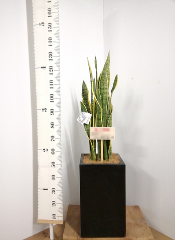 観葉植物   サンスベリア 8号 トラノオ セドナロング 墨 付き