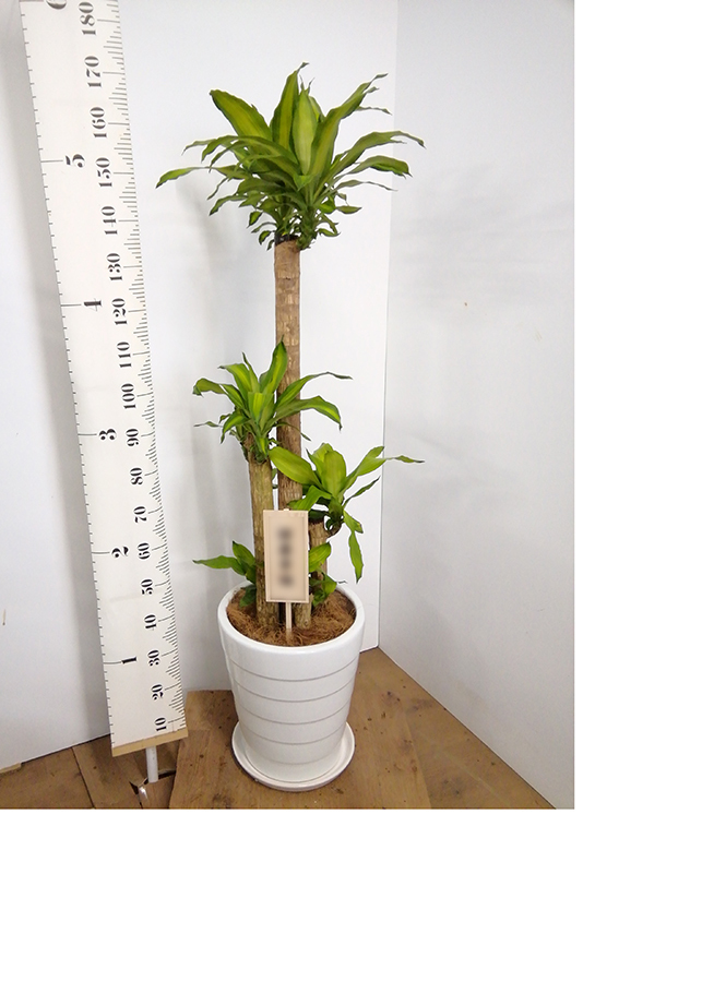 観葉植物 ドラセナ 幸福の木 10号 ノーマル サバトリア 白 付き